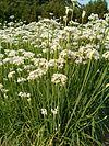 Allium tuberosum HabitusInflorescences BotGardBln0906