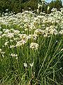 Allium tuberosum HabitusInflorescences BotGardBln0906.JPG