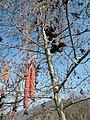 Alnus incana flowers buds.jpg