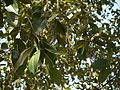 Alnus nepalensis (6364088933).jpg