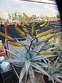 Aloe (7006853745).jpg