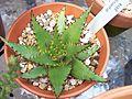 Aloe Broomie (6106171956).jpg