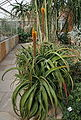 Aloe sessilifora 01.jpg