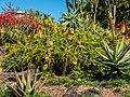 Aloe spp in Arid Zone garden Brisbane Botanic Gardens Mt Coot-tha L1020652.jpg