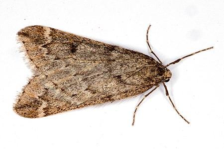Alsophila aescularia01, Lodz(Poland)(js).jpg