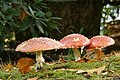 Amanita muscaria (30142609923).jpg