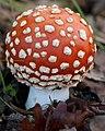Amanita muscaria (fly Amanita) (11359148223).jpg