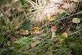 Amanita muscaria in Olgino 2.jpg