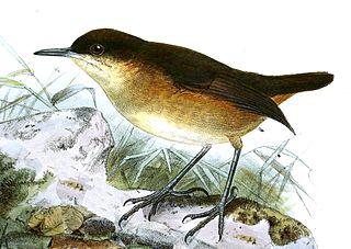 São Tomé shorttail Species of bird