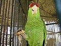 Amazona finschi -Mexico-6a.jpg