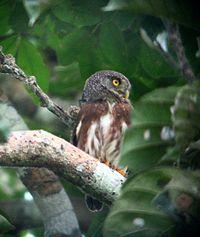 Amazonian Pygmy-owl (Glaucidium hardyi) in tree.jpg