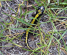 Black salamander with yellow stripe