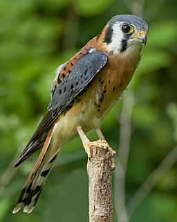 American kestrel species of the most common North American falcon