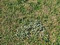 Ammobium alatum plant13 (14331685542).jpg