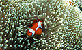 Amphiprion ocellaris at Raja Ampat.jpg