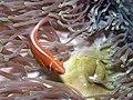 Amphiprion perideraion, Heteractis.jpg