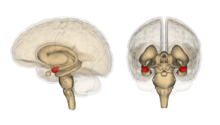 The amygdala's location in the brain.
