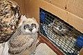 An owl friend (9356747267).jpg
