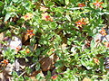 Anagallis arvensis Planta 2011-5-22 SierraMadrona.jpg