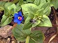 Anagallis arvensis subp foemina SolanadelPino.jpg