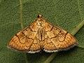 Anania verbascalis - Огнёвка коровяковая (40794631172).jpg