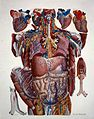 Anatomical Illustration Wellcome L0019305.jpg