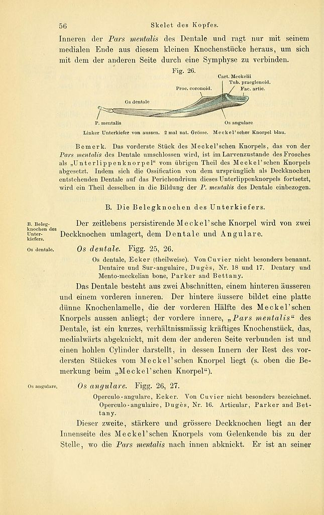 File:Anatomie des Frosches (Page 56, Fig. 26) BHL4404654.jpg ...