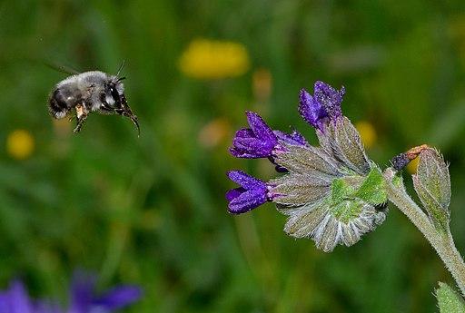 digger bee near a flower