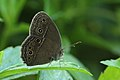 Andaman05 Bushbrown sp. (7999698162).jpg