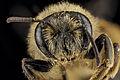 Andrena braccata, female, face 2012-08-08-15.40.01 ZS PMax (8115881511).jpg
