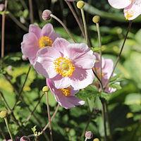 Anemone - Wikipedia