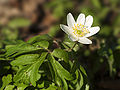 Anemone nemerosa LC0124.jpg