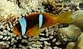 Anemonefish (clownfisch) im Roten Meer in Ägypten.DSCF4738WI.jpg
