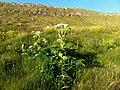Angelica archangelica Streymoy Faroe Islands.jpg