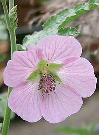 Anisodontea capensis2