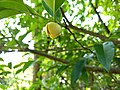 Annona glabra - alligator apple, swamp apple, Kaattatha. .jpg