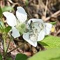 Anthocharis scolymu (male) on Rubus hirsutus s2.jpg