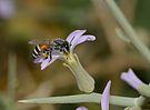 Apis florea worker 1.jpg