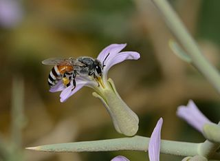 <i>Apis florea</i> species of insect