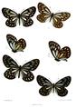 Aporia agathon 526.png
