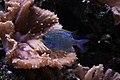 Aquarium de Dunkerque Chromis 08102017 1.jpg