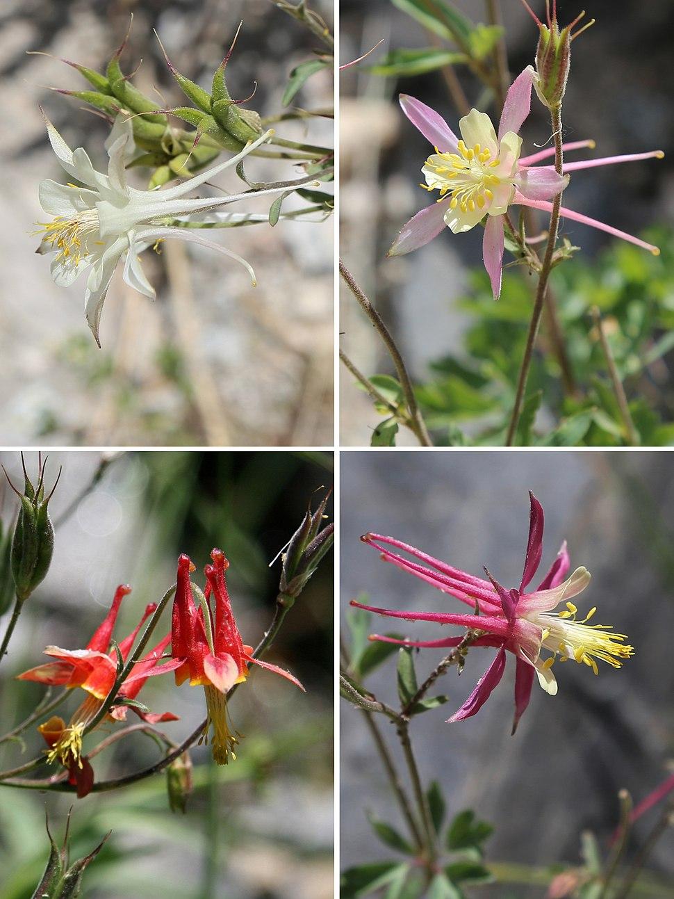 Aquilegia pubescens-formosa hybrid-swarm flowers close