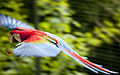 Ara chloropterus -Zoo de Pont-Scorff, Morbihan, France-8a (2).jpg