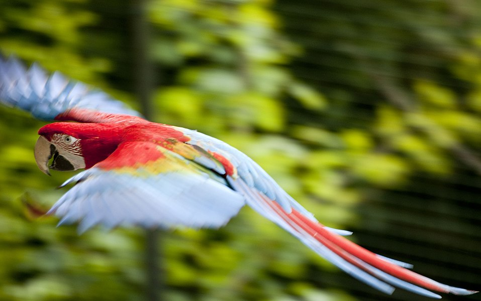 A Red-and-green Macaw flying at Pont-Scorff Zoo, Morbihan, Brittany, France.
