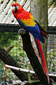 Ara macao -Munster Zoo, Germany-8a.jpg