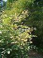 Aralia californica BotGardBln07122011C.JPG