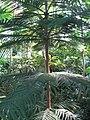 Araucaria heterophylla 02 by Line1.JPG