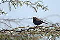 Aravalli BiodivPark Gurgaon DSC9069 Indian robin.jpg