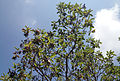 Arbutus andrachne - Greek Strawberry Tree - Sandal Ağacı 03.JPG