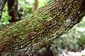 Arbutus unedo in Auckland Botanic Gardens 02.jpg